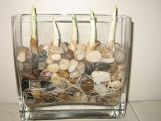 paperwhites in water - Google Search