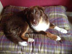 Scarlett on a Stylish Dog Company Bed #happydog #dog