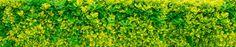 variegated golden euonymous bush hedge
