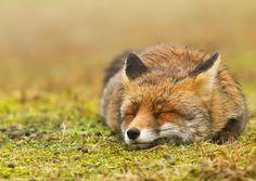 content little fox