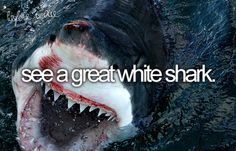 swim in a cage with great whites
