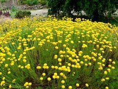 Santolina virens/cotton lavender  Zone 8  flowers June-Sept  evergreen shrub