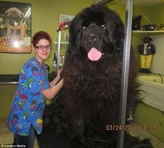 The biggest dogs Ive ever seen.  Can you imagine the food bill and vet cost?  Yikes