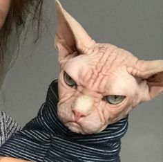 loki the grumpy sphynx cat 2 - Animals Cute Cats And Dogs, Cats And Kittens, Cat Brain, Stupid Cat, Sphinx Cat, Cat Aesthetic, Cat Photography, Cute Creatures, Grumpy Cat