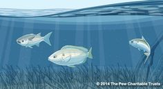 The ABCs of Ecosystem-Based Fisheries Management—Part IV