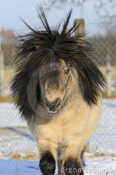 Mini Shetland Pony, 12 Years Old Stallion