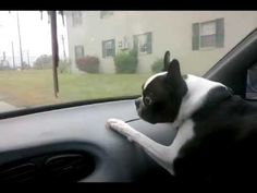 A Dog Behavior that's Bad for a Car! ► http://www.bterrier.com/?p=2443 - https://www.facebook.com/bterrierdogs