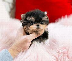 Yorkies Puppy List, Terrier Mix Dogs, Yorkie Puppy, Yorkies, Yorkshire Terrier, Backyard Landscaping, Landscape Design, Teddy Bear, Puppies