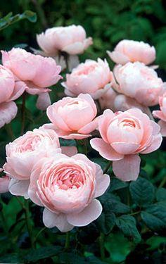 Rosa 'Queen of Sweden' by David Austin