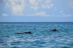 Delfines. Safari Blue / Dolphins. Safari Blue