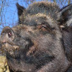 Smug wild boar.
