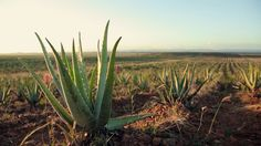 Forever Living Products Aloe Vera DK on Vimeo