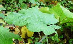 Brusturele este una din cele mai puternice plante medicinale, lipsită de efecte secundare. Frunzele și rădăcina sunt