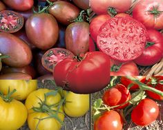 My Top 5 Heirloom Tomato Picks! (From Grandpa Jim's Garden Tips) | joylaughterandchocolate.com Garden Tips, Garden Ideas, Tomato Plants, Heirloom Tomatoes, Seeds, Projects To Try, Yummy Food, Vegetable Gardening, Vegetables