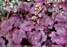 """Coral Bells (Heuchera 'Plum Royale'):  The first Heuchera to have amazing, shiny purple leaves all summer.  May through September, white flowers contrast beautifully with the dark stems.  Full sun to part shade; moderately well drained organic soil;  drought tolerant; winter colour;  10""""H x 14""""W;  Zones: 4 to 9. - Terra Nova Nurseries"""