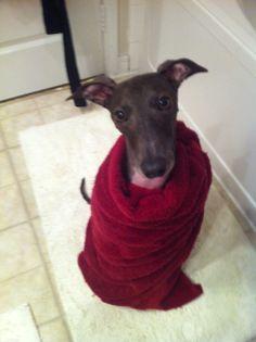 Fresh out of the bath :) Italian Greyhound