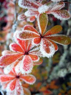 Frost via ann dahl. I think i'm longing for winter. Winter Szenen, Winter Magic, A Touch Of Frost, Winter Beauty, Winter Garden, Jack Frost, Amazing Nature, Beautiful World, Autumn Leaves