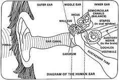 human ear diagram for children human ear diagram for