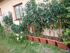 Tajemství úspěšného pěstování rajčat | Český Kutil.cz Growing Plants, Indoor Plants, Home And Garden, Outdoor Structures, Flowers, House, Home Decor, Gardening, Gardens