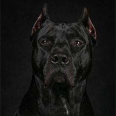 This beautiful ( Cane Corso) Italian muscular mastiff breed dog, is a highly working companion and guard dog. This beautiful ( Cane Corso) Italian muscular mastiff breed dog, is a highly working companion and guard dog. Big Dogs, I Love Dogs, Cute Dogs, Dogs And Puppies, Doggies, Mastiff Breeds, Dog Breeds, Pitbull Terrier, Dogs Pitbull