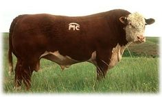 Shorthorn cattle genetics operation nestled in 1948 with run polled herefords. Hereford Beef, Hereford Cattle, Cattle Farming, Livestock, Beef Cattle, Cattle Dogs, Cattle Corrals, Wooly Bully, Bullen