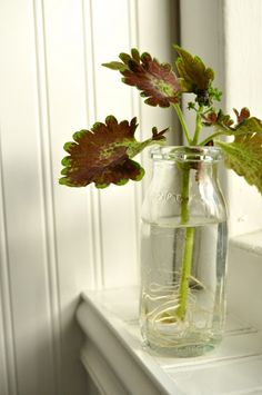 Overwintering & Propagating Coleus….Love these plants, buy one and make dozens. The easiest thing in the world to root.