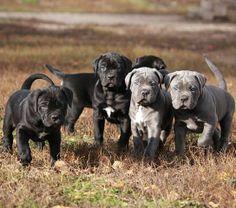 Cane corso italiano Puppies