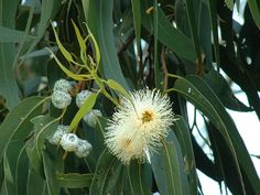 There's More Than One Eucalyptus Oil!