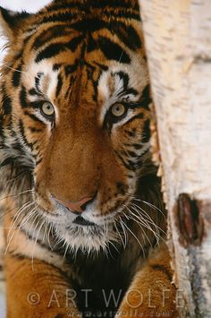 Tiger portrait. (captive)