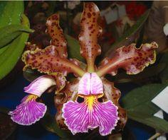 Cattleya schilleriana - Flickr - Photo Sharing!