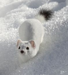 Get Stoked For These Insanely Adorable 14 Stoats! - World's largest collection of cat memes and other animals Cute Creatures, Beautiful Creatures, Animals Beautiful, Animals And Pets, Funny Animals, Les Scouts, Pet Ferret, Cute Ferrets, Cute Little Animals