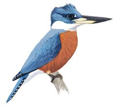 The Belted Kingfisher is often first noticed by its wild rattling call as it flies over rivers or lakes. It may be seen perched on a high snag, or hovering on rapidly beating wings, then plunging headfirst into the water to grab a fish. Found almost throughout North America at one season or another, it is the only member of its family to be seen in most areas north of Mexico.