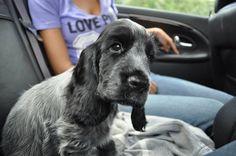 Hektor,english cocker spaniel puppy:)))