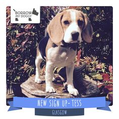 #NewDoggySignUp Tess is an energetic and fun Beagle puppy who loves nothing more than playing in the garden, looking for twigs and balls!