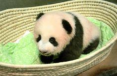Japan - It's A Wonderful Rife: Ueno Zoo's New Baby Panda Named Shan Shan