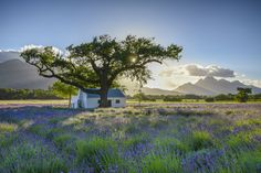 The La Motte Wine Estate Heritage and its Historic Buildings Replant, Horse Stables, Tree Trunks, Lavender Fields, Ceiling Height, Heritage Site, Historical Sites, Business Logo, Pretty Pictures