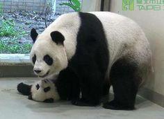 I miss the cute panda cub yuan zai so much   I also like the rubber duck cushion so much