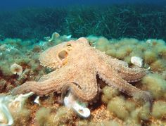 The octopus (/ˈɒktəpʊs/ or /ˈɒktəpəs/; plural: octopuses, octopi, or octopodes; see below) is a cephalopod mollusc of the order Octopoda. Octopuses have two eyes and four pairs of arms and, like other cephalopods, they are bilaterally symmetric.