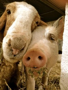 goat and pig portrait