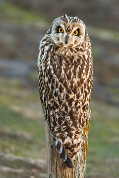 Photo What Owl, where? by Roeselien Raimond on 500px Owl Photos, Owl Pictures, Beautiful Owl, Animals Beautiful, Short Eared Owl, Photos Voyages, Wise Owl, Owl Bird, Tier Fotos