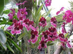 Viooltjes orchideeen