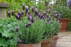 Perennial plants for pots Discover hardy perennials that are perfect for growing in pots, including Container Herb Garden, Container Gardening Vegetables, Container Flowers, Container Plants, Garden Pots, Garden Ideas, Patio Ideas, Landscaping Ideas, Farmhouse Landscaping