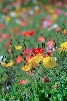 Wild flower meadow even a small patch helps bees wild - Yellow poppy flower meaning ...