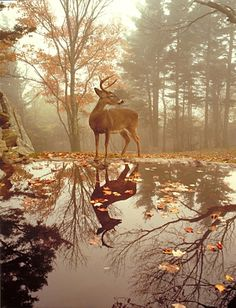 Mirror reflection: buck standing by a stream on a fall misty morning.