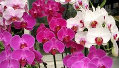 Beginner Tips on How to Grow Phalaenopsis Orchids