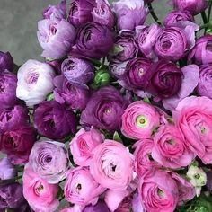 Ranunculus at Fox Point Farms, Encinitas Meadow Flowers, Silk Flowers, Purple Flowers, Beautiful Flowers, Flowers Garden, Yellow Roses, Fresh Flowers, Pink Roses, Daffodil Flower