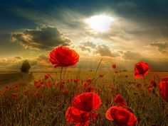 Pics For > Poppy Flower Field Wallpaper Field Wallpaper, Flower Wallpaper, Mobile Wallpaper, Wallpaper Ideas, Nature Wallpaper, Iphone Wallpaper, Flower Pictures, Pretty Pictures, Amazing Pictures