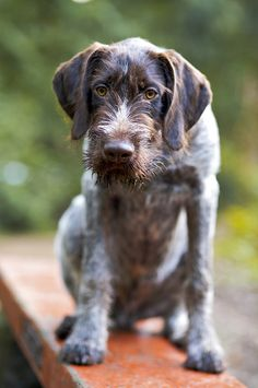 German Wirehaired Pointer Dog Breed Information, Pictures, Characteristics & Facts - Dogtime Pointer Puppies, Pointer Dog, I Love Dogs, Cute Dogs, Awesome Dogs, Adorable Puppies, Best Large Dog Breeds, Big Dog Breeds, Puppy Classes