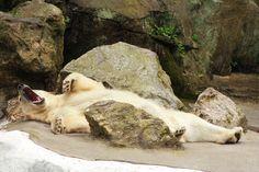 Polar Bear Yawning   by dennoit Polar Bear Yawning   by dennoit