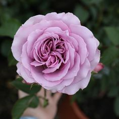 Ready to add a new variety to your rose garden? Beautiful Flowers Images, Flower Images, Amazing Flowers, Beautiful Roses, Flower Art, Bulb Flowers, Purple Flowers, Coming Up Roses, Plant Pictures